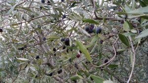 Olives_B&B_Les_Terrasses_du_Soleil_Drome_Provencale